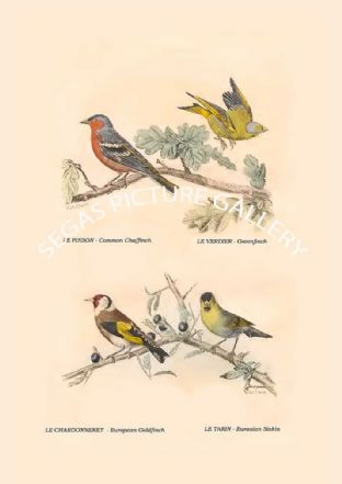Common Chaffinch, Greenfinch , European Goldfinch, Eurasian Siskin